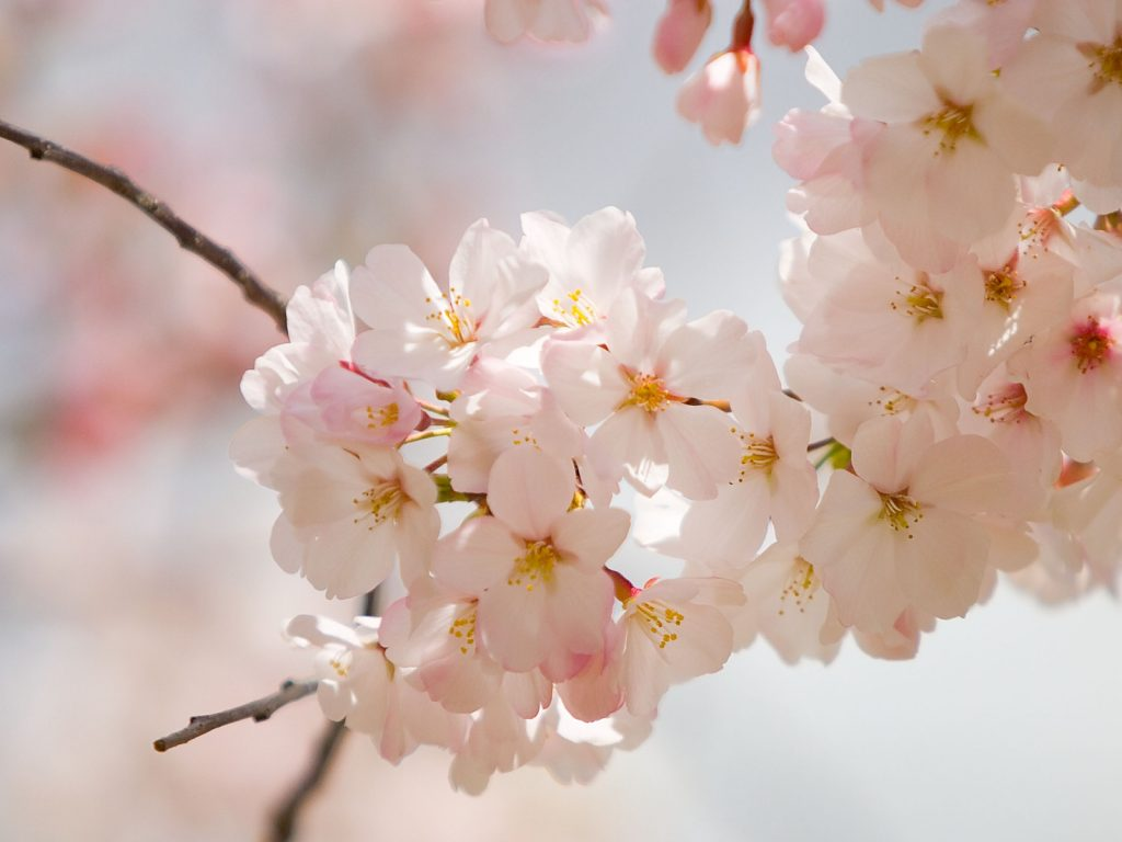 spring-flowers-wallpapers-3